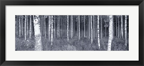 Framed Birch Trees In A Forest, Finland Print