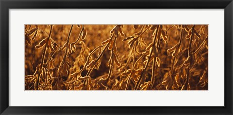 Framed Close-up of ripe soybeans, Minnesota, USA Print