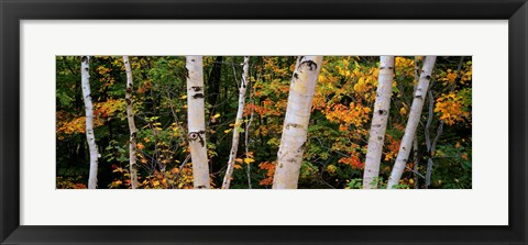 Framed Birch trees in a forest, New Hampshire, USA Print