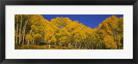Framed Low angle view of Aspen trees in a forest, Telluride, San Miguel County, Colorado, USA Print
