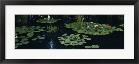 Framed Water lilies in a pond, Denver Botanic Gardens, Denver, Colorado, USA Print