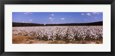 Framed Cotton crops in a field, Georgia, USA Print