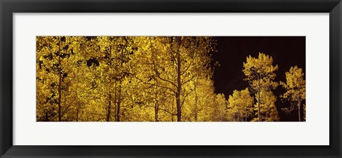 Framed Aspen trees in autumn with night sky, Colorado, USA Print