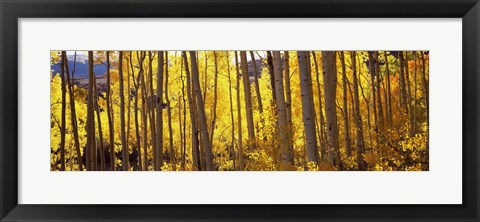 Framed Aspen tree trunks and foliage in autumn, Colorado, USA Print