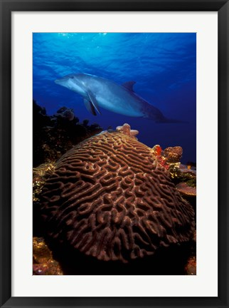 Framed Bottle-Nosed dolphin (Tursiops truncatus) and coral in the sea Print