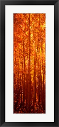 Framed Aspen trees at sunrise in autumn, Colorado (vertical) Print