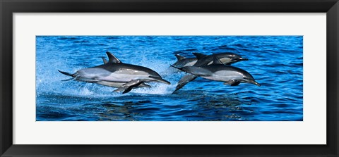 Framed Dolphins in the sea Print
