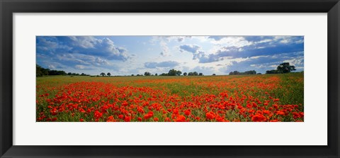 Framed Close Up of Red Poppies in a field, Norfolk, England Print