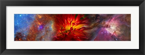 Framed Hubble galaxy with red chrysanthemums Print