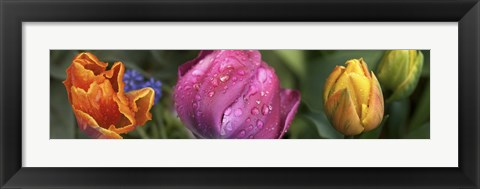 Framed Close up of Colorful Tulips Print