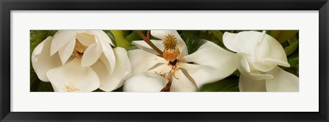 Framed Close-up of white magnolia flowers Print