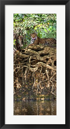 Framed Jaguar resting at the riverside, Three Brothers River, Meeting of the Waters State Park, Pantanal Wetlands, Brazil Print