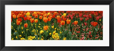 Framed Tulips in a field, St. James's Park, City Of Westminster, London, England Print