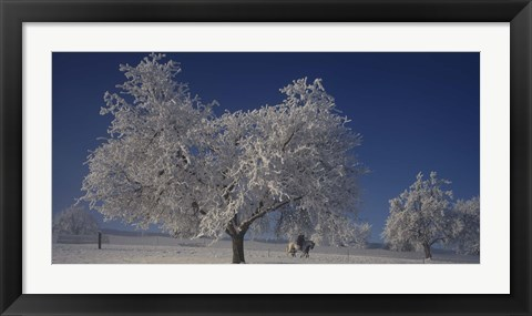 Framed Two people horseback riding through cherry trees on a snow covered landscape, Aargau, Switzerland Print