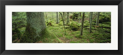 Framed Close-up of moss on a tree trunk in the forest, Siggeboda, Smaland, Sweden Print