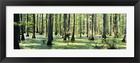 Framed Cypress trees in a forest, Shawnee National Forest, Illinois, USA Print