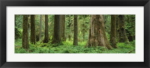 Framed Trees in a rainforest, Hoh Rainforest, Olympic National Park, Washington State, USA Print