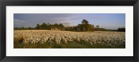 Framed Cotton plants in a field, North Carolina, USA Print