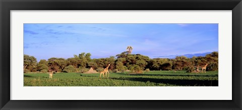 Framed Giraffes in a field, Moremi Wildlife Reserve, Botswana, South Africa Print