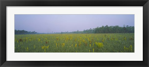 Framed Yellow Trumpet Pitcher Plants In A Field, Apalachicola National Forest, Florida, USA Print