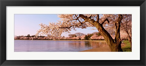 Framed Cherry blossom tree along a lake, Potomac Park, Washington DC, USA Print