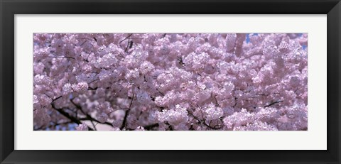 Framed USA, Washington DC, Close-up of cherry blossoms Print