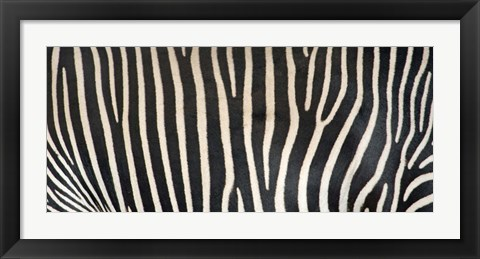 Framed Grevey's Zebra Stripes Print