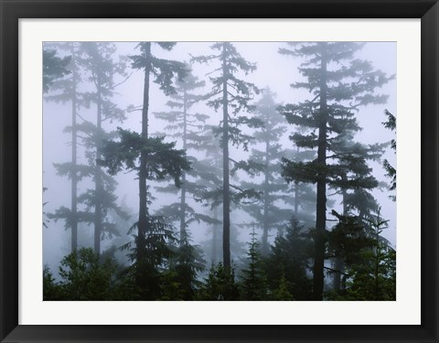 Framed Silhouette of trees with fog, Douglas Fir, Hemlock Tree, Olympic Mountains, Olympic National Park, Washington State, USA Print