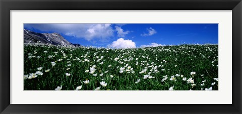 Framed White flowers in a field, French Riviera, Provence-Alpes-Cote d'Azur, France Print