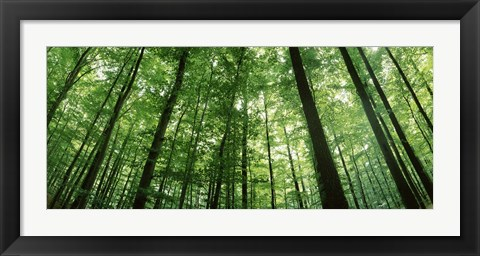 Framed Low angle view of beech trees, Baden-Wurttemberg, Germany Print