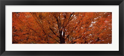 Framed Maple tree in autumn, Vermont, USA Print