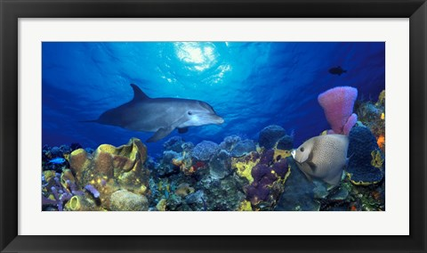 Framed Bottle-Nosed dolphin (Tursiops truncatus) and Gray angelfish (Pomacanthus arcuatus) on coral reef in the sea Print