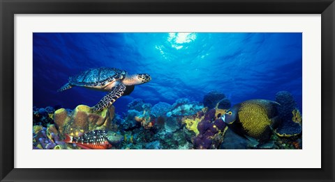 Framed Hawksbill turtle (Eretmochelys Imbricata) and French angelfish (Pomacanthus paru) with Stoplight Parrotfish (Sparisoma viride) Print