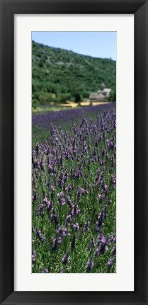 Framed Lavender crop with a monastery in the background, Abbaye De Senanque, Provence-Alpes-Cote d'Azur, France Print