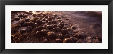 Framed Horseshoe crabs (Limulus polyphemus), spawning, Port Mahon, Delaware River, Delaware, USA Print