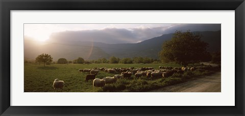 Framed Flock of sheep grazing in a field, Feneos, Corinthia, Peloponnese, Greece Print