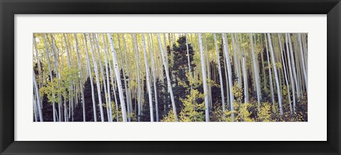 Framed Aspen trees in a forest, Aspen, Pitkin County, Colorado, USA Print