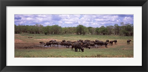 Framed Herd of Cape buffaloes (Syncerus caffer) use a mud hole to cool off in mid-day sun, Kruger National Park, South Africa Print