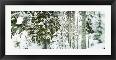 Framed Snow covered evergreen trees at Stevens Pass, Washington State Print