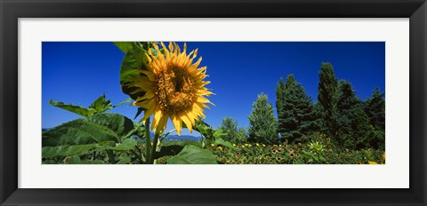 Framed Close up of a sunflower in a field, Hood River, Oregon Print