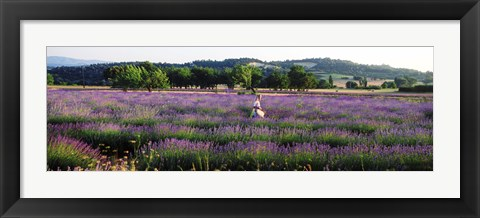 Framed Woman walking with basket through a field of lavender in Provence, France Print