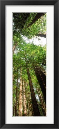 Framed Coast Redwood (Sequoia sempivirens) trees in a forest, California, USA Print