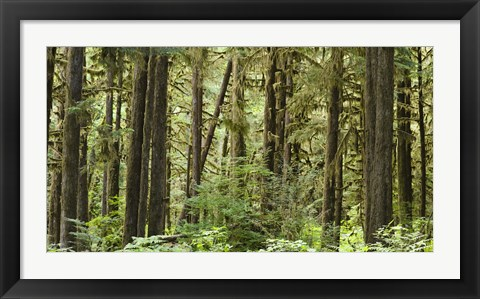 Framed Trees in a forest, Quinault Rainforest, Olympic National Park, Washington State Print