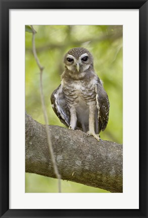 Framed Close-up of White-Browed Hawk Owl (Ninox superciliaris), Madagascar Print