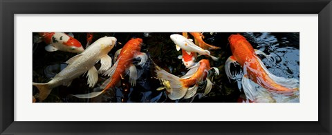 Framed Koi Carp swimming underwater Print