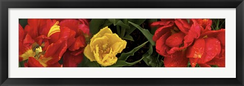 Framed Close-up of red and yellow tulips Print