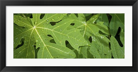 Framed Raindrops on papaya tree leaves, La Digue, Seychelles Print