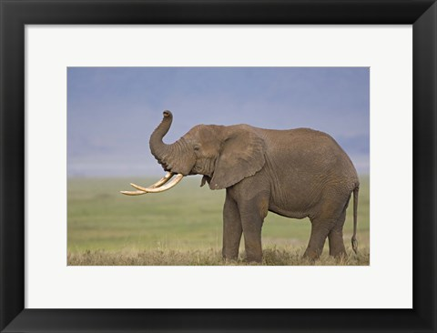 Framed Side profile of an African elephant standing in a field, Ngorongoro Crater, Arusha Region, Tanzania (Loxodonta africana) Print