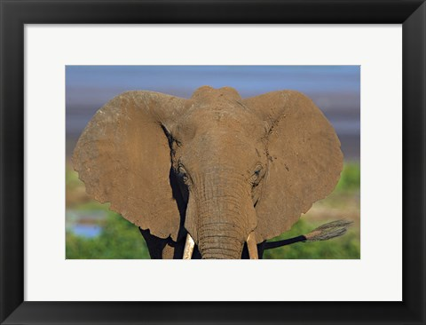 Framed Close-up of an African elephant, Lake Manyara, Arusha Region, Tanzania (Loxodonta Africana) Print