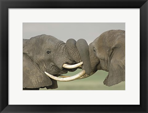 Framed Two African elephants fighting in a field, Ngorongoro Crater,Tanzania Print